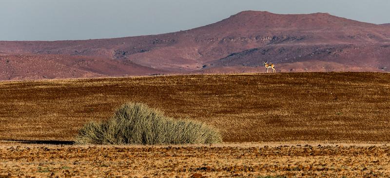 Springbok at Sunrise - Desert Rhino Camp