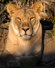 Desert Adapted Lion - Desert Rhino Camp