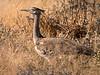 Kori Bustard - Etosha National Park