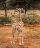 Baby Angolan Giraffe with Umbilical Cord - Okonjima