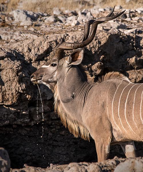Male Kudo at Watering Hole - Etosha National Park