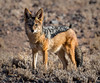 Black-backed Jackal - Kulala Wilderness Reserve