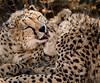 Rescued Cheetahs (Peanut & Raisin) - Okonjima
