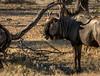 Blue Wildebeast - Etosha National Park