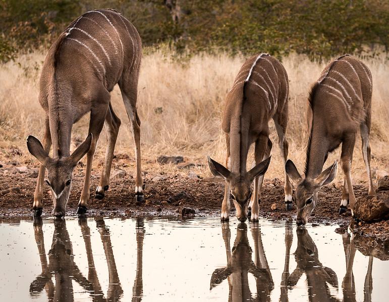 Kudu at Water Hole at Ongava Lodge - Ongava Reserve