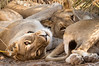 A Pile of Lions - Desert Adapted Lions - Desert Rhino Camp