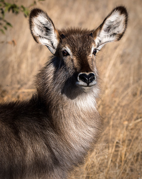 Young (2 month old) male waterbuck - Ongava Reserve