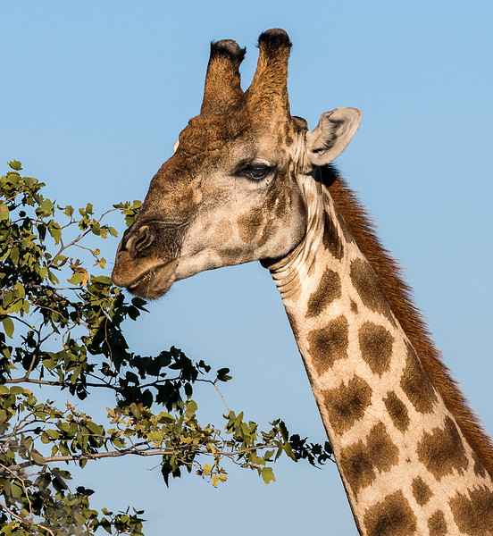 Angolan Giraffe - Ongava Reserve