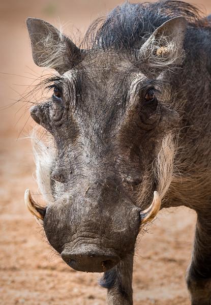 The Resort Warthog - Okonjima