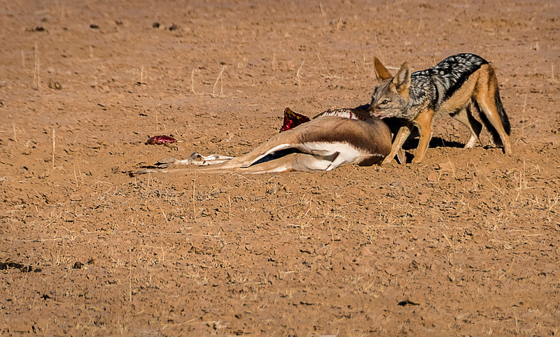 Black-backed jackal eating springbok killed by hyena