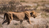 Lioness - Etosha National Park