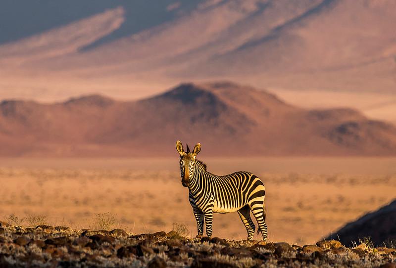 Hartmann's Mountain Zebra - Kulala Wilderness Reserve