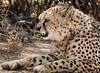 Cheetah - Okonjima