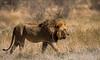 Male Lion - Etosha National Park