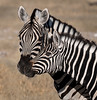Plains Zebra - Etosha National Park