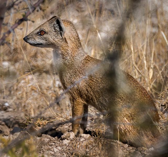 Golden Mongoose - Etosha National Park