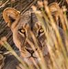 Desert Adapted Lions - Desert Rhino Camp