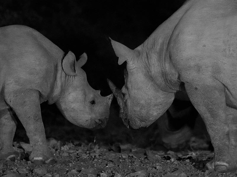 White Rhinos (mother & young) at the Water Hole - Ongava Lodge and Reserve
