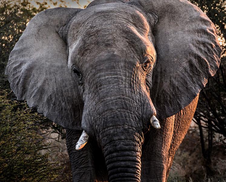 Desert Adapted  Elephant - Ongava Reserve