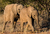 Desert-adapted elephants in Doro !Nawas