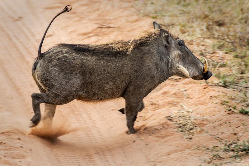 Warthog - Okonjima