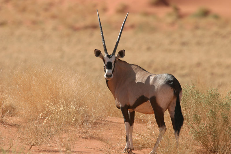 Female Gemsbok (Orynx)