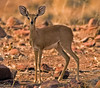 Female Steenbok