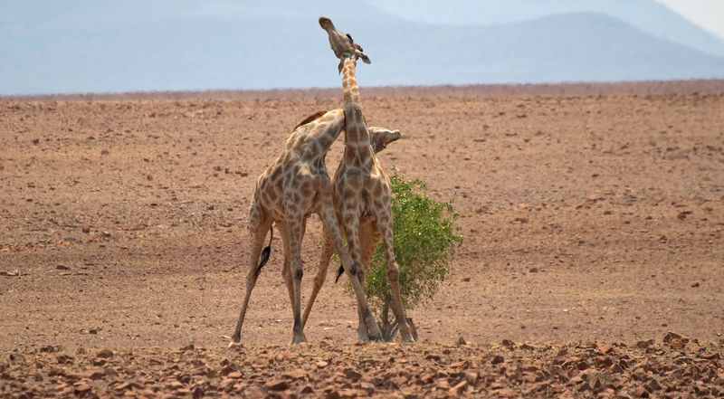 Young male giraffes fighting