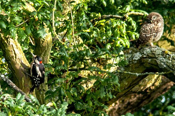 Great spotted woodpecker and a Tawny Owl in the same tree, this is a genuine photo as you can see the owl is not pin sharp.