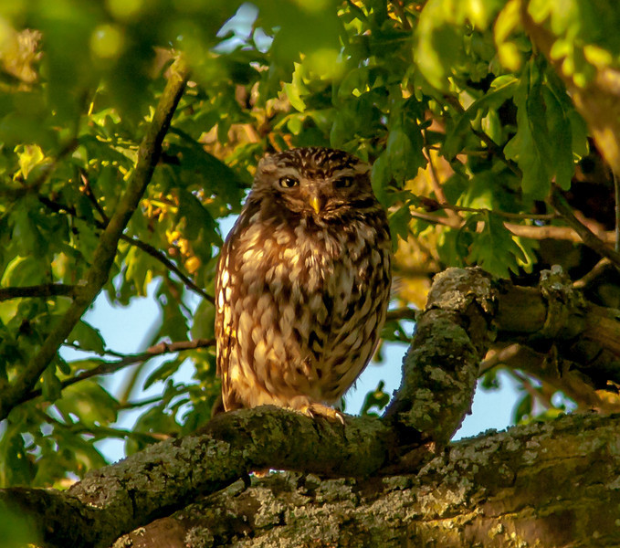 Tawyn Owl, taken in wild by a local canal, first time I've seen an owl in the wild.