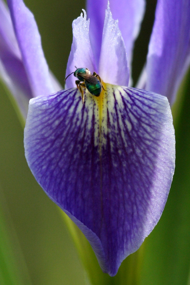 A blue flag iris with some kind of green bee.