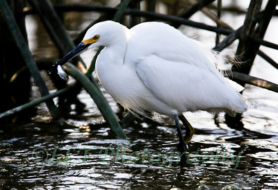 Finshing Snowy Egret