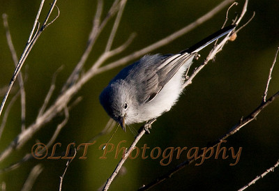 Blue-Gray Gnatcatcher, San Joaquin Wildlife Santuary