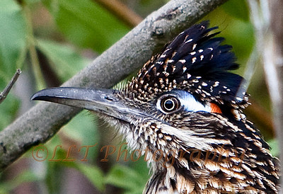 Greater Roadrunner, Crystal Cove State Park, CA