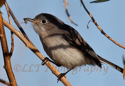 Blue-Gray Gnatcatcher, San Joaquin Wildlife Santuary