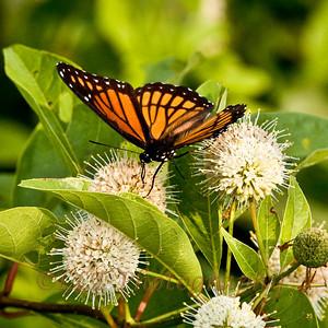 Butterfly Series Huntley Meadows Park, Virginia