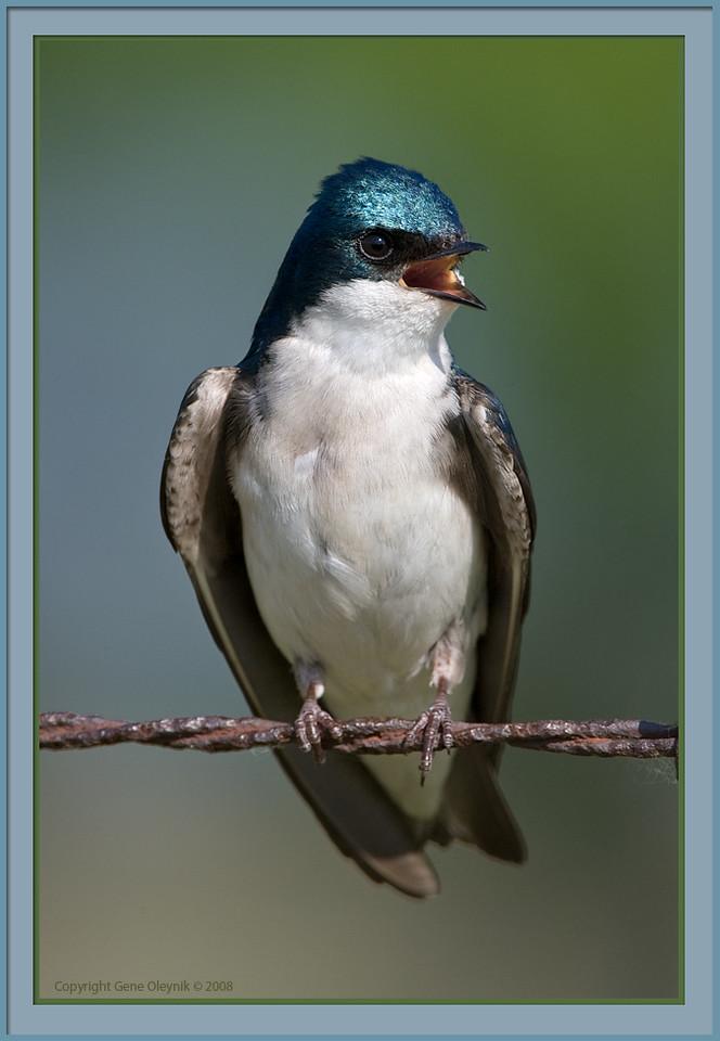 "swallow; ""Tree Swallow"""
