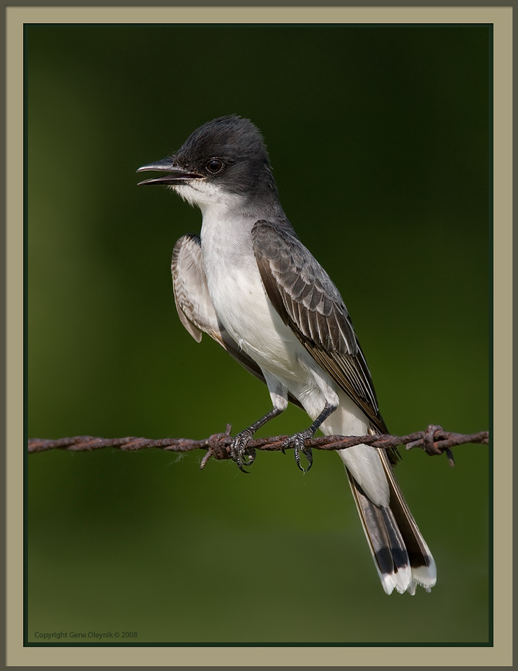 "Kingbird; ""Eastern Kingbird"""