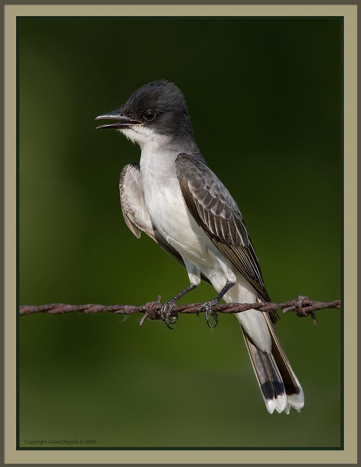 "Kingbird; ""Eastern Kingbird"""