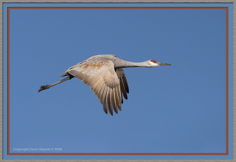 "Crane ""Sandhill Crane"" flight"