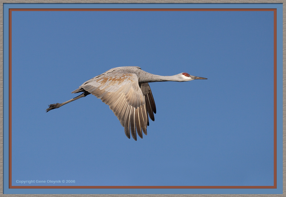 "Crane ""Sandhill Crane"" flight"