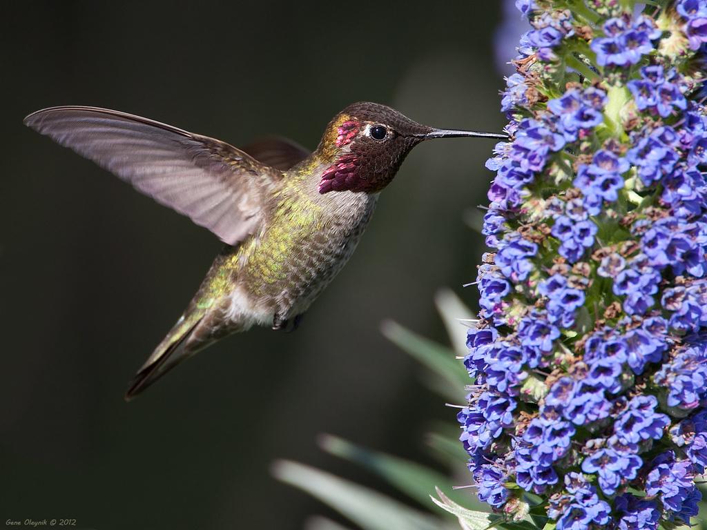 "Hummingbird ""Anna's Hummingbird"""