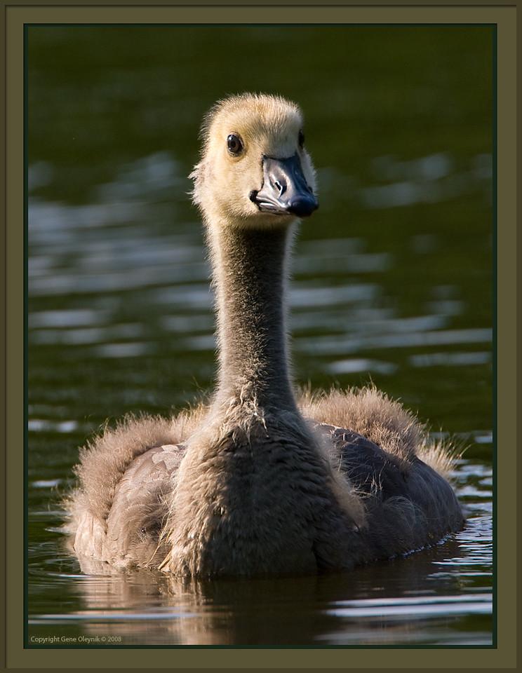 """Goose; """"Canada Goose""""; gosling"""