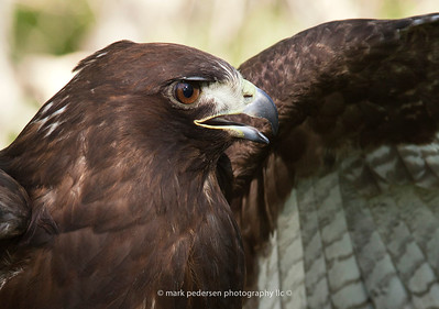 Ares : Red Tailed Hawk
