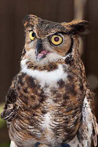 Athena : Great Horned Owl