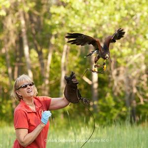 Zeus : Harris's Hawk