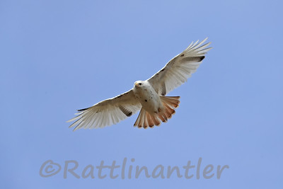 Red-Tailed Hawk - Leucistic