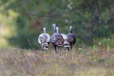 Leusictic Wild Turkeys