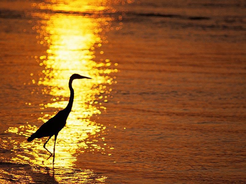 Blue Heron in Reflected Sun