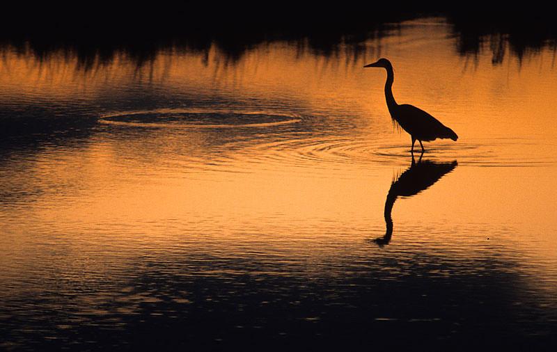 Egret Hunting after Sunset